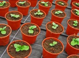 Експеримент із вирощування рослин
