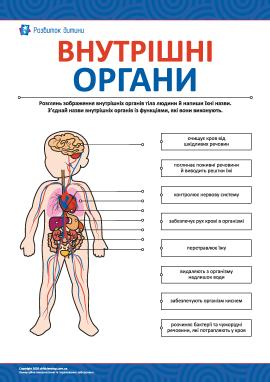 Вивчаємо внутрішні органи тіла людини